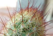 Photo of Mammillaria elongata