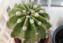 Photo of Echinopsis eyriesii