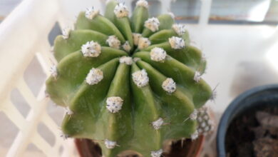 Photo of Echinopsis eyriesii