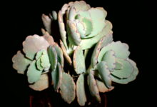 Photo of Kalanchoe fedtschenkoi