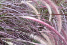 Photo of Pennisetum setaceum