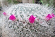 Photo of Mammillaria hahniana