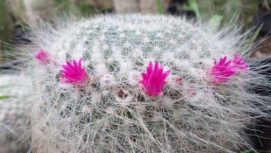 Photo of Mammillaria hahniana