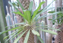 Photo of Pachypodium lamerei