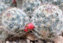 Photo of Mammillaria prolifera