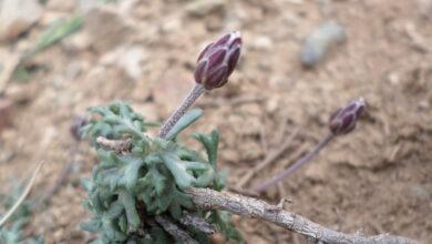 Photo of Rhodanthemum atlanticum