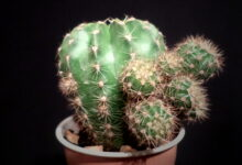 Photo of Echinopsis oxygona