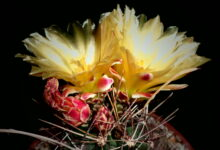 Photo of Ferocactus hamatacanthus