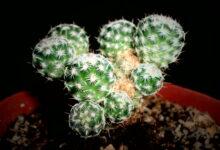 Photo of Mammillaria huitzilopochtli