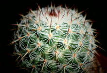 Photo of Mammillaria haageana elegans