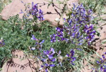 Photo of Vicia onobrychioides