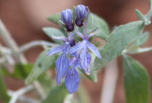Photo of Teucrium fruticans