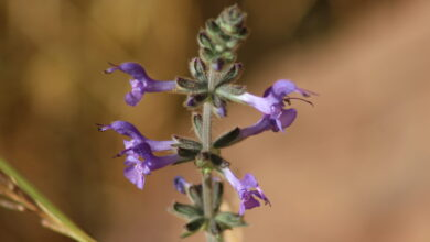 Photo of Salvia verbenaca