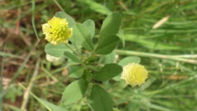 Photo of Trifolium campestre