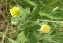 Photo of Trifolium campestre