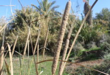 Photo of Typha angustifolia