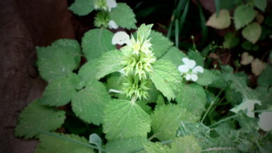 Photo of Sideritis villosa
