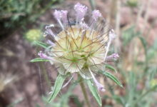 Photo of Scabiosa columbaria