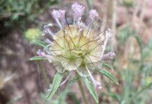 Photo of Scabiosa columbaria