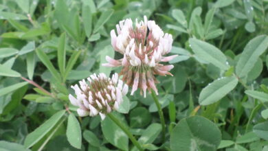 Photo of Trifolium ochroleucum