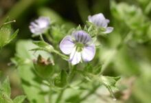 Photo of Veronica anagallis-aquatica