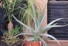 Photo of Aloe vera