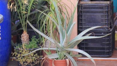 Photo of Aloe vera