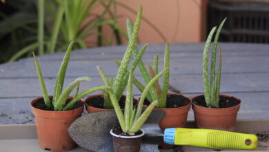 Photo of HOW TO GROW AND CARE OF ALOE VERA