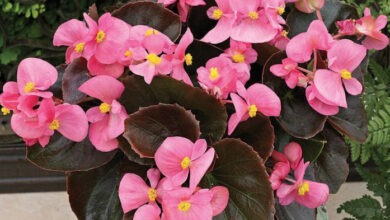 Photo of How to Grow Begonias