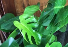 Photo of Monstera deliciosa