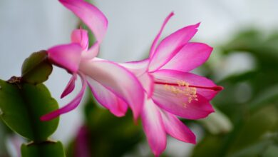 Photo of How to grow and care of Christmas cactus / Thanksgiving cactus