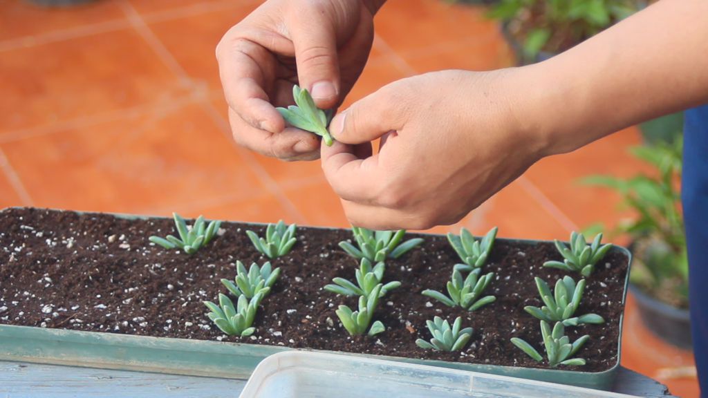 How to make a succulent mother plant? Sedum