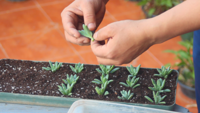 Photo of How To Make A Succulent Mother Plant? Sedum