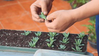 Photo of How To Make A Succulent Mother Plant? Sedum