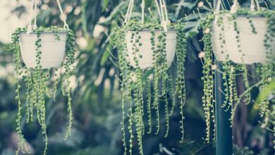 Photo of 7 POPULAR TYPES OF STRING PLANTS