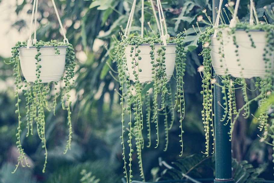 7 POPULAR TYPES OF STRING PLANTS - Plants bank