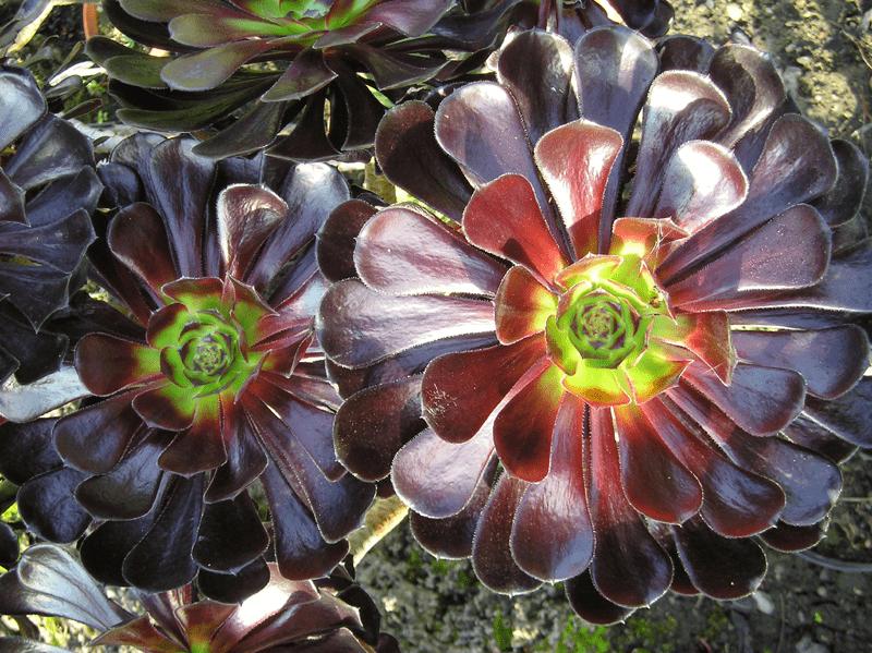 Aeonium arboreum - plants bank