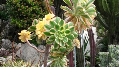 HOW TO GROW AND CARE FOR AEONIUM PLANTS? - plants bank