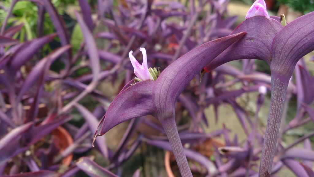 9 TYPES OF WANDERING JEW PLANTS (TRADESCANTIA) - SPECIES AND CARE TIPS - plants bank