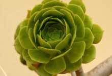 Photo of Aeonium arboreum