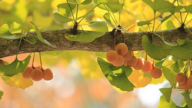 Photo of Ginkgo biloba (Maidenhair tree)