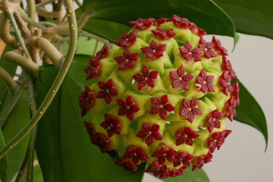 H. cinnamomifolia