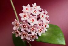 Photo of 12 POPULAR SPECIES OF HOYA PLANT – GROW AND CARE TIPS
