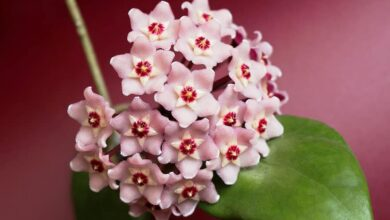 12 POPULAR SPECIES OF HOYA PLANT - GROW AND CARE TIPS - PLANTS BANK