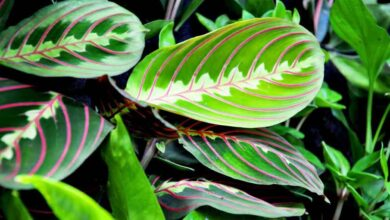 Photo of CALATHEA PLANT: POPULAR SPECIES AND CARE TIPS