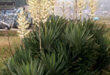 Photo of Yucca gloriosa