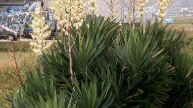 Yucca gloriosa - plants bank