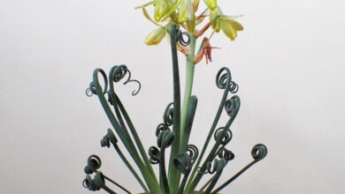 Photo of Albuca spiralis