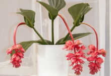 Photo of How To Grow And Care For Medinilla magnifica Plant?