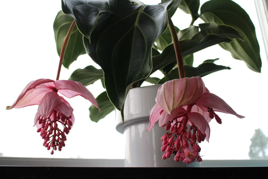 How to grow and care for Medinilla magnifica plant? - plants bank